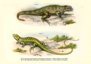 Die Grosse Kamm-Agame. (Leiocephalus Carinatus.) - Lizard, Northern Curly-Tailed